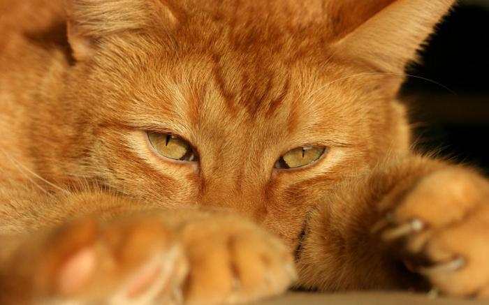 породы рыжих котов