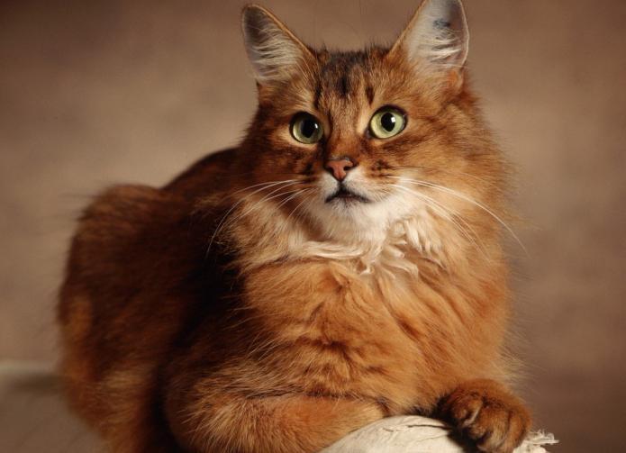 рыжий с белым кот порода
