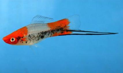 Меченосец рыбка самец и самка как отличить