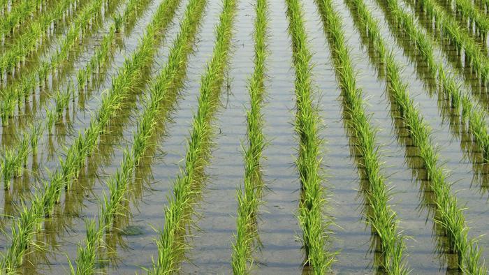 польза от риса