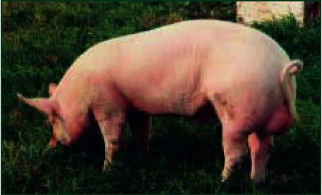 порода свиней скороспелая мясная