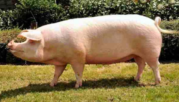 самая мясная порода свиней