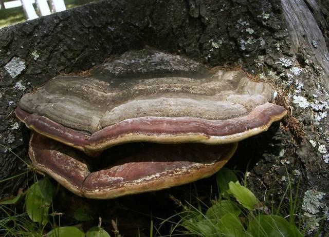 грибы паразиты человека лечение