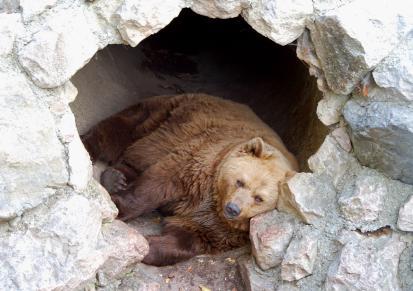 Бурые медведи: описание и среда обитания
