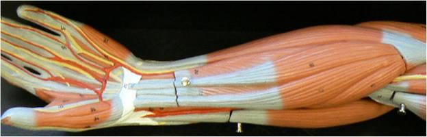 мышцы плеча и предплечья