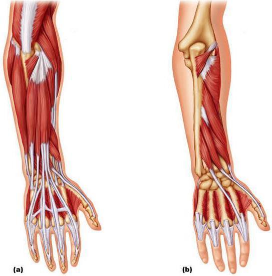 передняя группа мышц предплечья