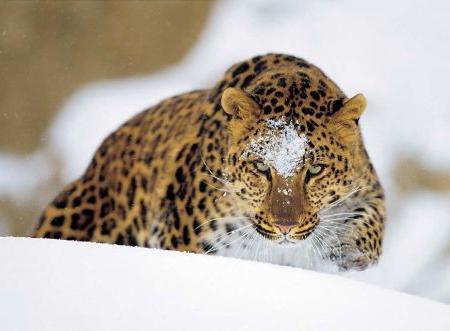 Дальневосточный леопард: описание, численность