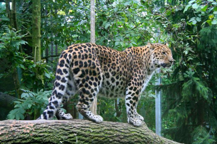 описание дальневосточный леопард