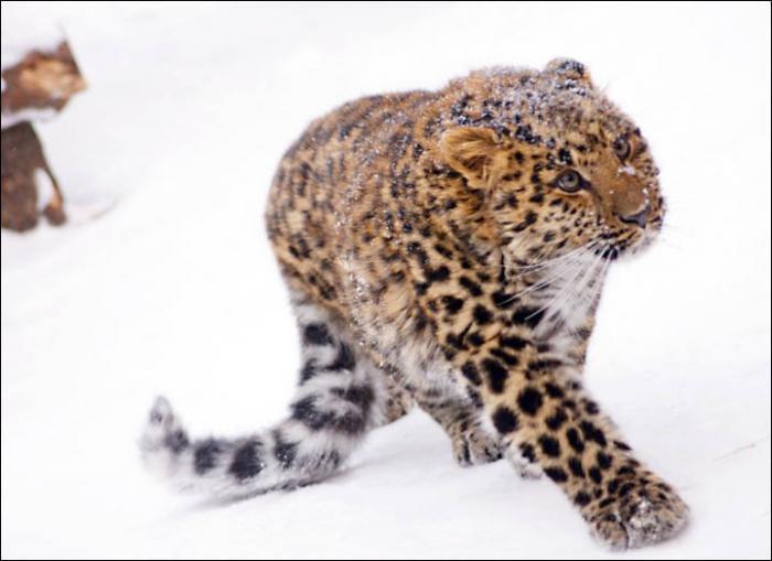 красная книга дальневосточный леопард