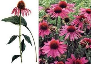 how to take echinacea tablets
