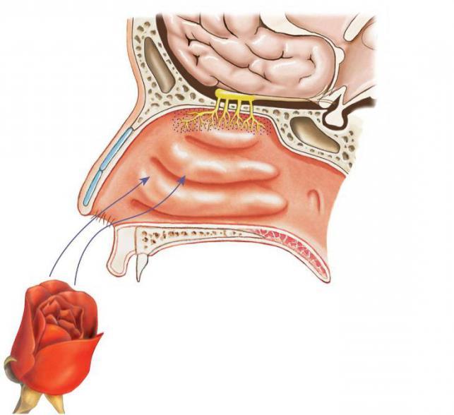 nose sense organs