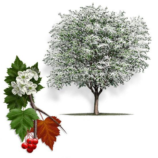 боярышник полезные свойства и противопоказания