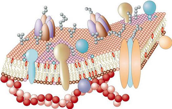cytoplasmic membrane structure
