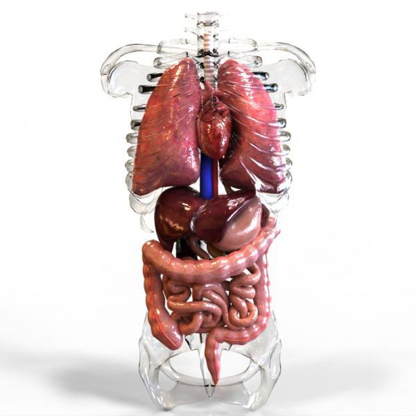 внутрішні органи людини розташування фото