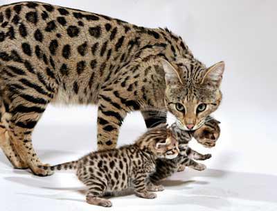 Фото гепардов маленьких