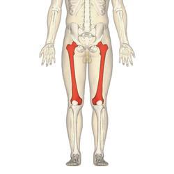 Большая бедренная кость. Строение бедренной кости