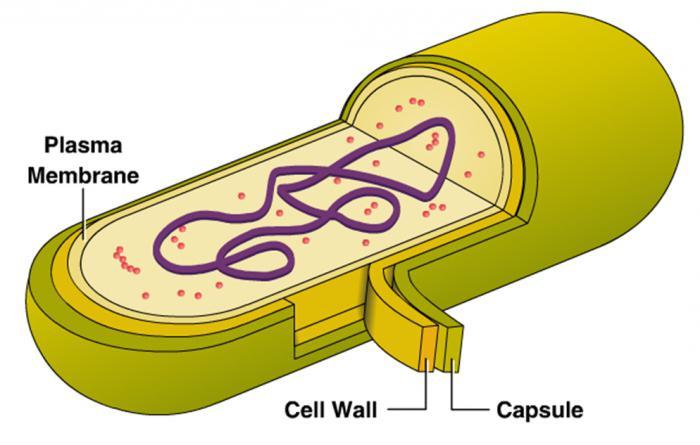 схема строения бактериальной