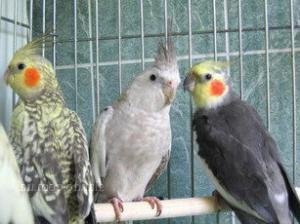 female cockatiel parrot