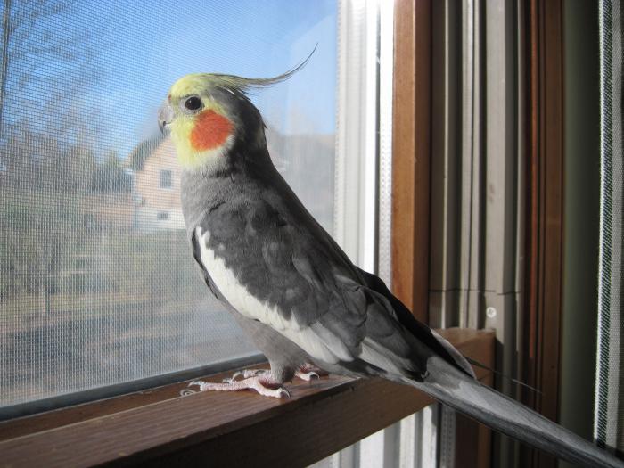 how many live parrot korella