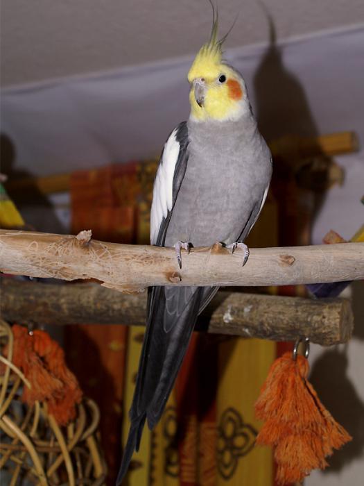 Corella parrot at home