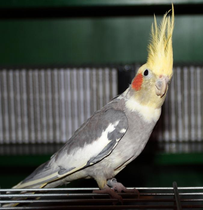 Corella parrot photo