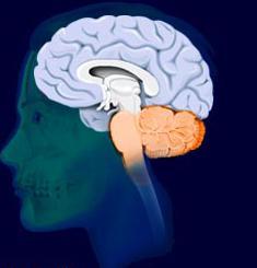 задний мозг