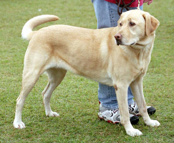 labrador breed description