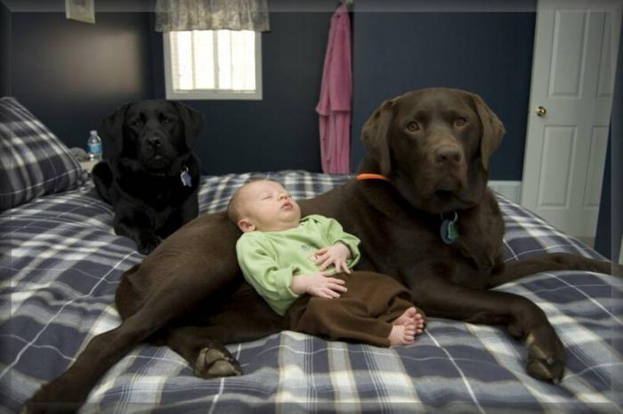 labrador retriever breed description