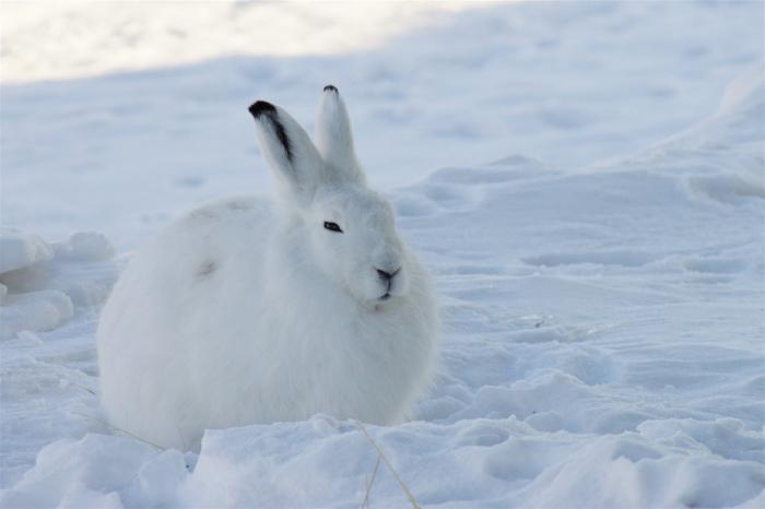 information about animals in the tundra