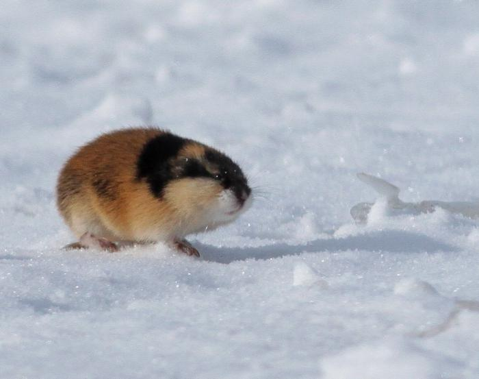 what animals live in the tundra
