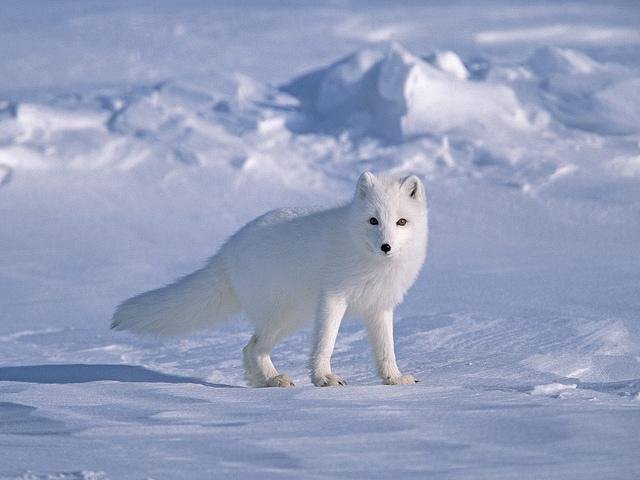 animals in the tundra