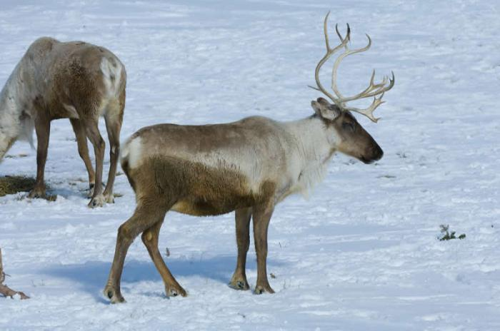 animals in the tundra of Russia