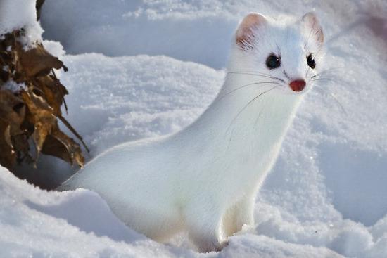 ласка фото животного зимой