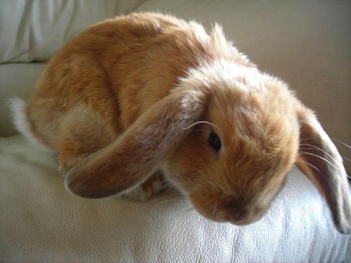 dwarf rabbit ram