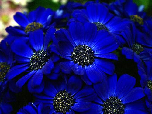 цветок синего цвета