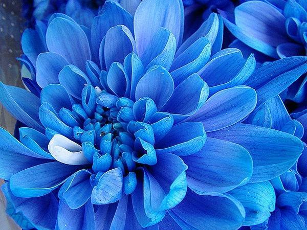 темно синие цветы