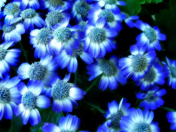 синие цветы что означают