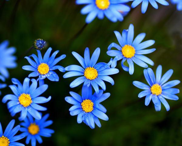 какие цветы синие