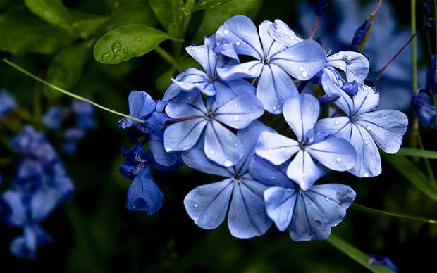 ярко синие цветы