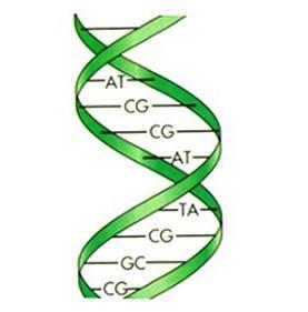 Строение ДНК особенности схема Какое строение имеет