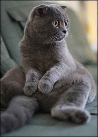 Шотландский вислоухий котов окрас
