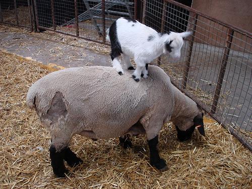 рожденные под знаком овен в год козы