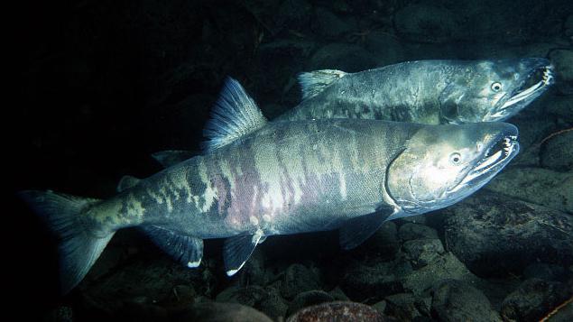 chinook fish