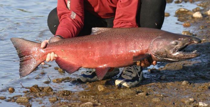 chinook fish photo