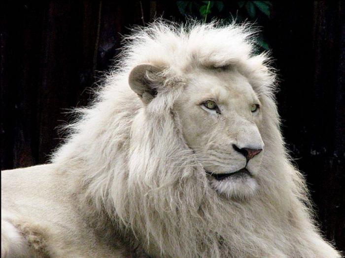фото белых львов