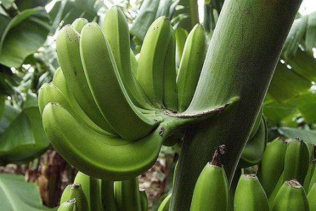 banana is a fruit or berry answer