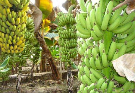 banana is a fruit or berry