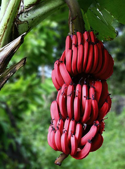 banana is a fruit or berry or grass