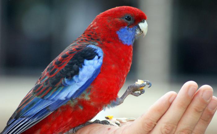 Попугай розелла, фото, содержание, уход, виды