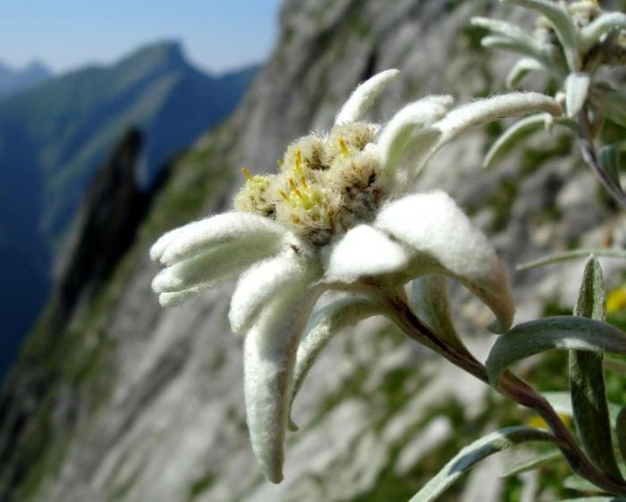 Эдельвейсы цветы